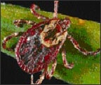 American Dog Tick photo source: CDC
