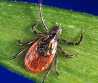 Black Legged Tick photo source: CDC