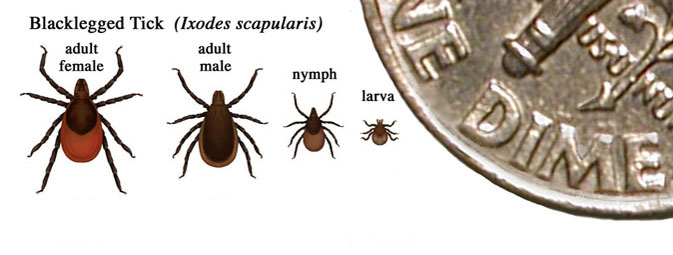 deer tick sizes