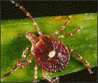 Lone Star Tick photo source: CDC